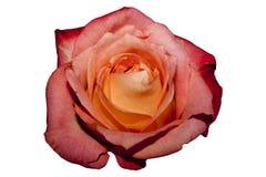 Rosa só Imagem de Stock