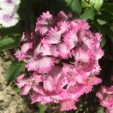 rosa söta williams blommor royaltyfri bild