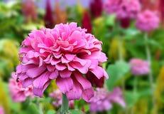 rosa sötsak Royaltyfria Bilder