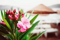 Rosa Südblume gegenüber von einem Strandstrohregenschirm stockfoto
