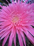 Rosa s?songsbetonade blommor arkivfoton