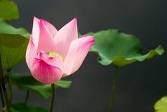 Rosa sakrala Lotus Flower med en mörk grå bakgrund royaltyfri foto