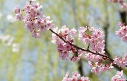 rosa sakura Royaltyfria Foton