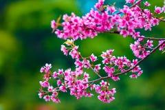 rosa sakura Arkivbilder