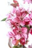 rosa sakura Arkivbild