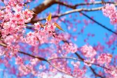 Rosa sakura blomma med blå himmel i vår arkivfoton
