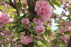 Rosa sakura blomma på små branchres Royaltyfri Foto
