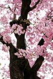 Rosa sakura blommor i Osaka, Japan arkivfoto