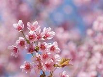 Rosa sakura blomning Arkivbild