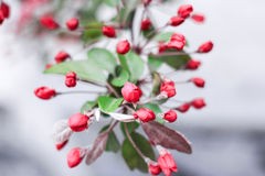 Rosa sakura blomningar Arkivfoto