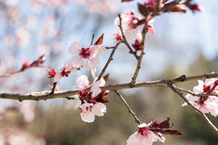 Rosa Sakura Cherry Tree Flowers Arkivbilder