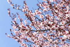 Rosa Sakura Cherry Tree Flowers Royaltyfri Foto