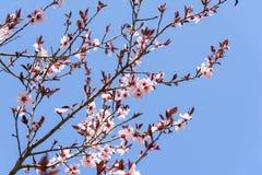 Rosa Sakura Cherry Tree Flowers Royaltyfria Bilder