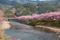 Rosa Sakura de Japão Imagens de Stock
