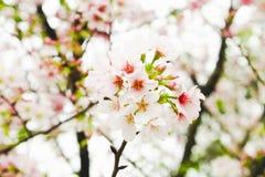 Rosa sakura för rund filialblomning träd i den Tianyuan templet, Royaltyfri Bild