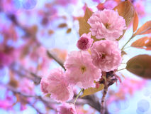 Rosa Sakura Flowers på bakgrunden för blå himmel Royaltyfri Fotografi