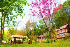 Rosa sakura i Thailand Arkivbilder