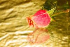 Rosa salvaje-creciente hermosa del escarlata Fotos de archivo libres de regalías
