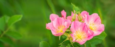 Rosa salvaje del praire panorámica Imagen de archivo libre de regalías