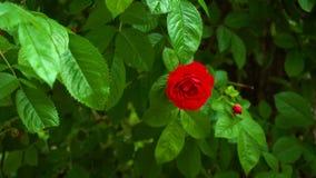 Rosa salvaje del rojo en el arbusto almacen de metraje de vídeo