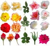 Rosa samling Royaltyfri Bild