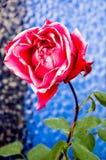 Rosa sbiadetta Fotografie Stock