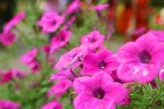 Rosa schöne Blume Petunien-Korbblumen Lizenzfreies Stockbild