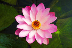 Rosa schöner Lotos Lotus-Blume Stockfotografie