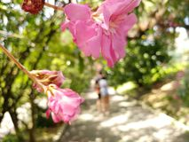Rosa Schönheit stockfotos