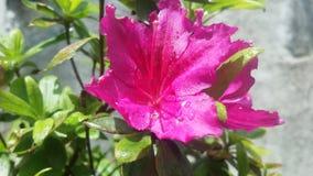 Rosa Schönheit lizenzfreies stockbild