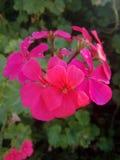 Rosa sch?ne Blumen stockbilder