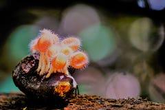 Rosa Schalenpilz wachsen im wilden stockfoto