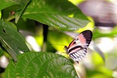 Rosa, schwarzer u. weißer Longwing-Schmetterling, Klavierschlüssel Stockfotografie