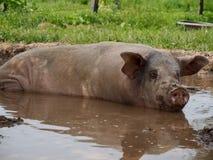 Rosa Schwein, das im Schlamm-Teich sich wälzt lizenzfreie stockfotografie