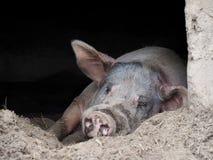 Rosa Schwein mit den großen Ohren und der Schnauze in der Höhle lizenzfreies stockfoto