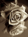 Rosa scura Fotografie Stock