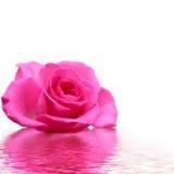 Rosa se levantó Fotografía de archivo