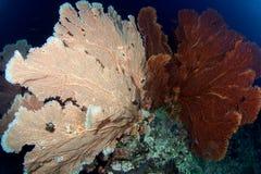 rosa seafan Arkivbild