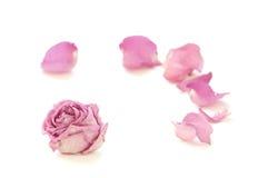 Rosa seca aislada en el fondo blanco fotografía de archivo libre de regalías