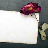 Rosa secada del rojo y fotografía en blanco Imagenes de archivo