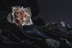 Rosa secada do branco no fundo cinzento com o veludo escuro que drapeja imagens de stock royalty free