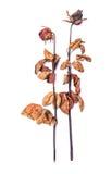 Rosa secada isolada no fundo branco imagens de stock