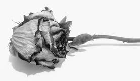 Rosa secca in bianco e nero Fotografia Stock Libera da Diritti