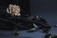 Rosa secca di bianco su fondo grigio con velluto scuro che copre Fotografia Stock