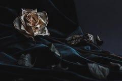 Rosa secca di bianco su fondo grigio con velluto scuro che copre Immagini Stock