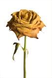 Rosa secca di colore giallo isolata Fotografia Stock