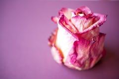 Rosa secca di porpora Fotografia Stock
