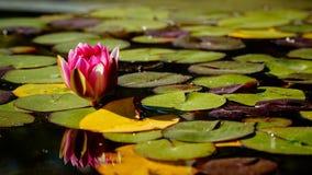 Rosa Seerose, die unter hellgrünen Blättern schwimmt stockfotografie