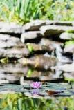 Rosa Seerose im Teich Lizenzfreie Stockfotos