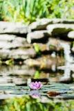 Rosa Seerose im Teich Stockbild